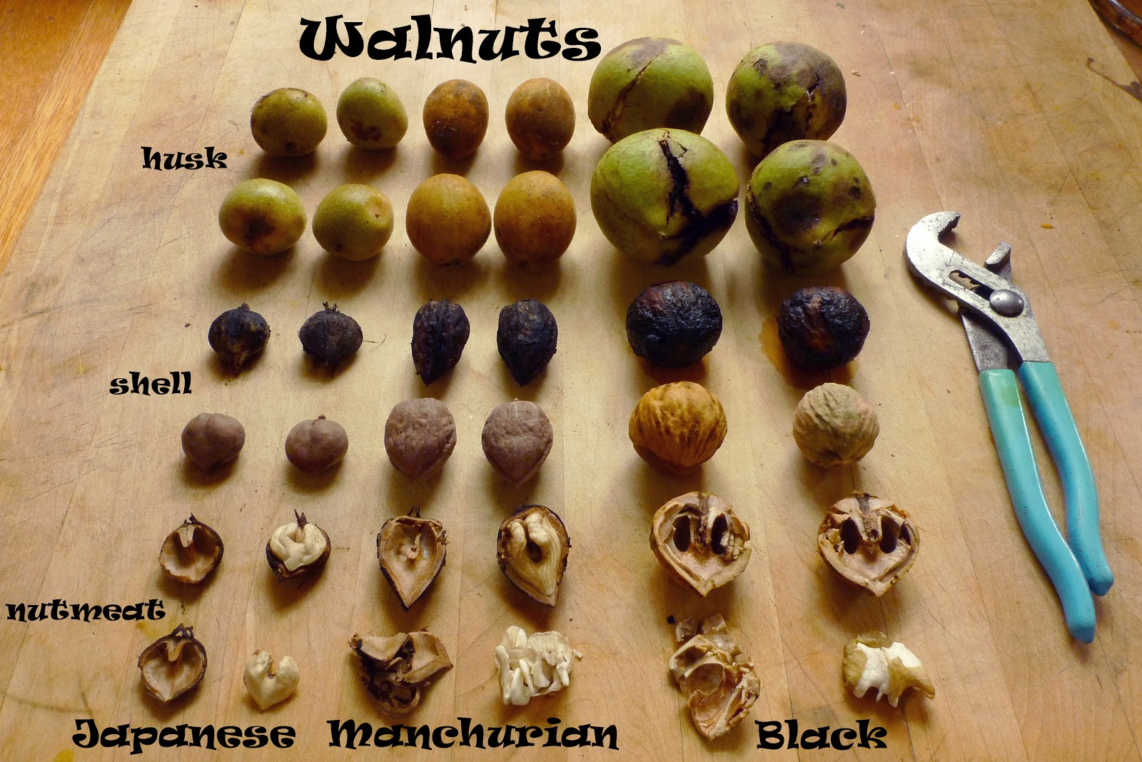 P1130139 Heartnut Manchurian Black Walnut Juglans ailantifolia mandshurica nigra Comparison rc labels1